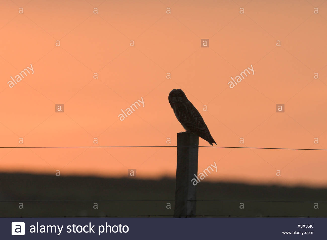 Short-eared owl Asio flammeus on fence post at sunset Eday Orkney Orkney Isles - Stock Image