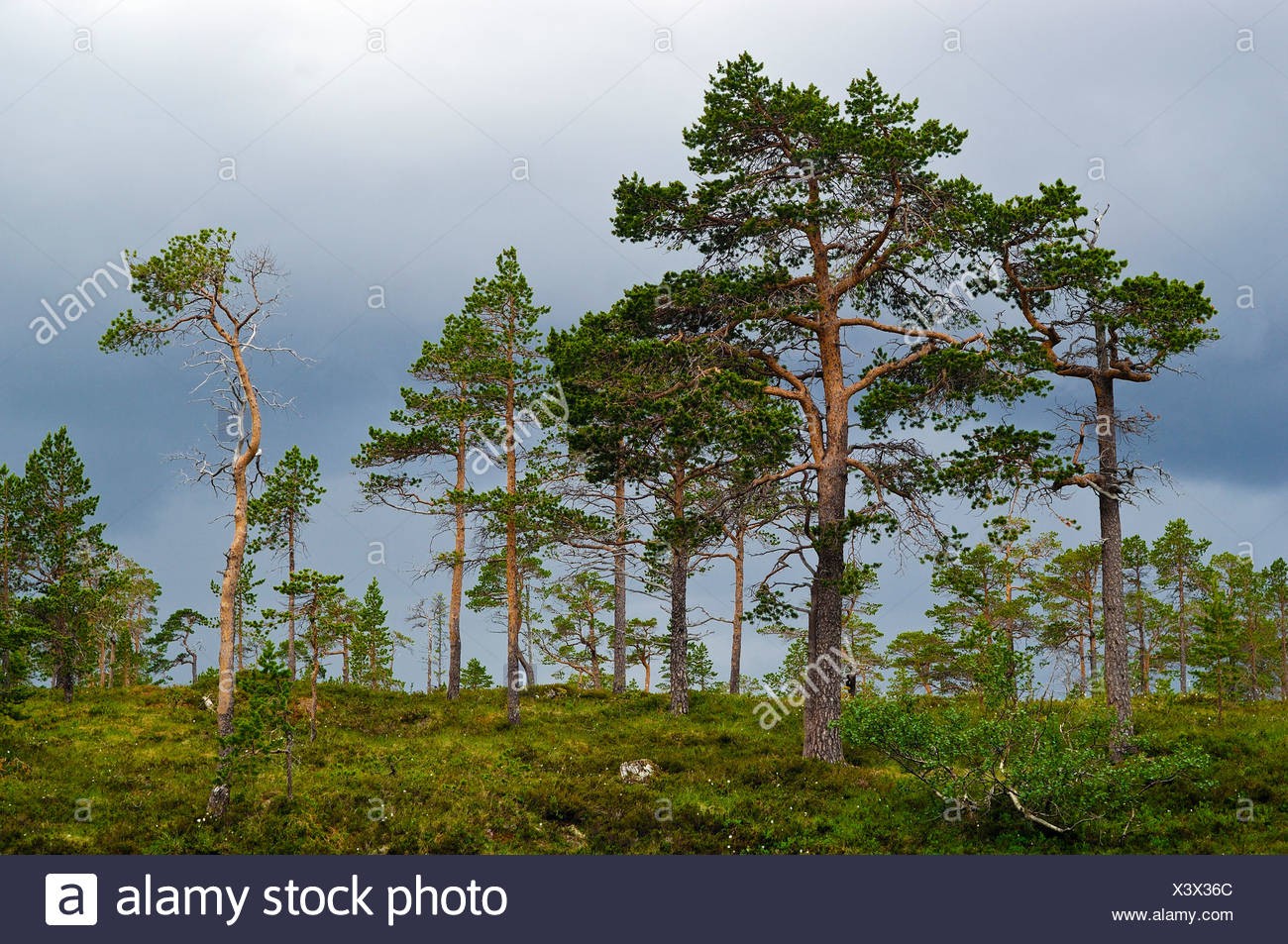 Pine, conifer, oppland, Norway - Stock Image