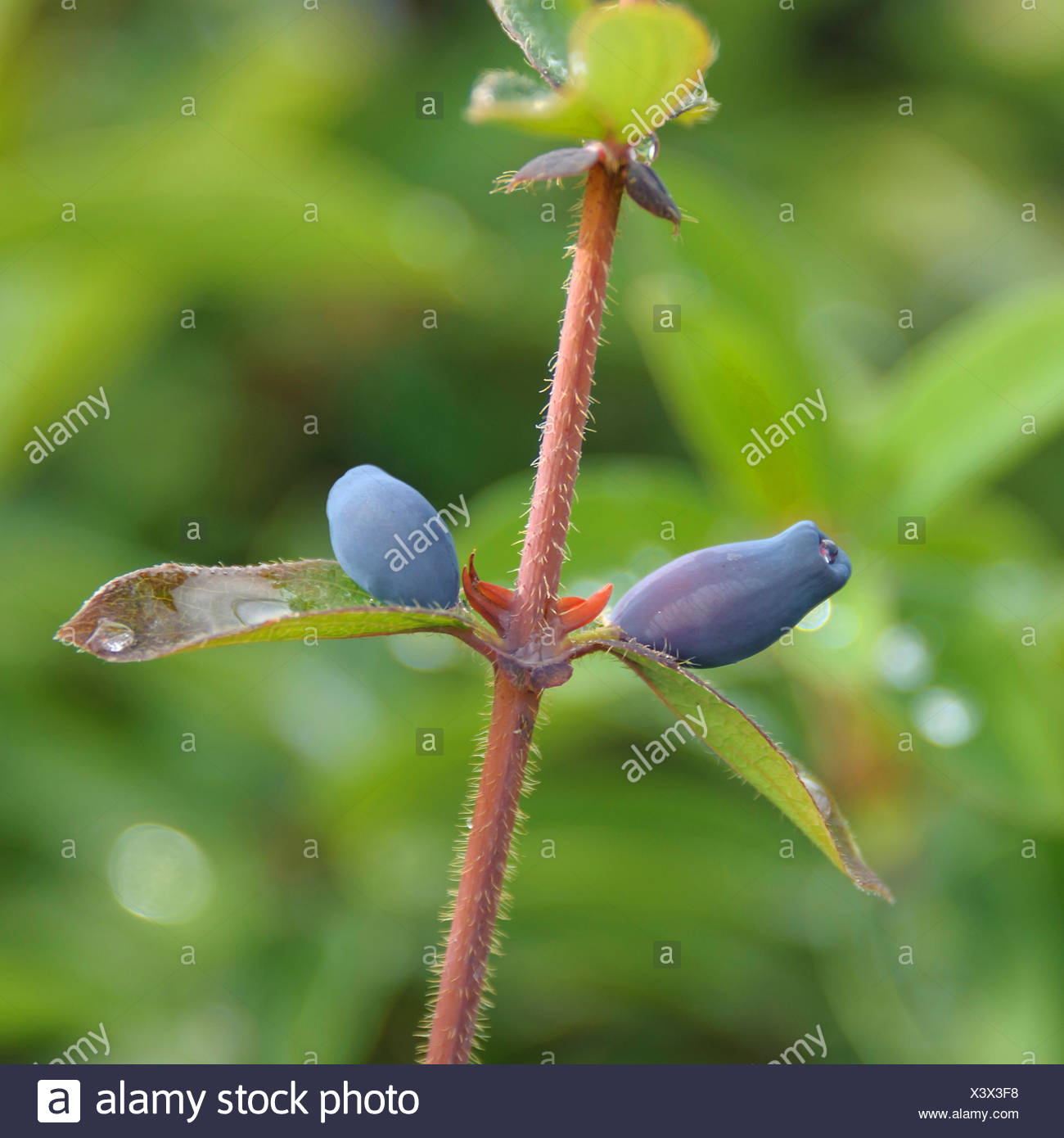 blue-berried honeysuckle, bluefly honeysuckle, sweetberry honeysuckle (Lonicera caerulea 'Balalaika', Lonicera caerulea Balalaika), fruits of cultivar Balalaika, Germany - Stock Image