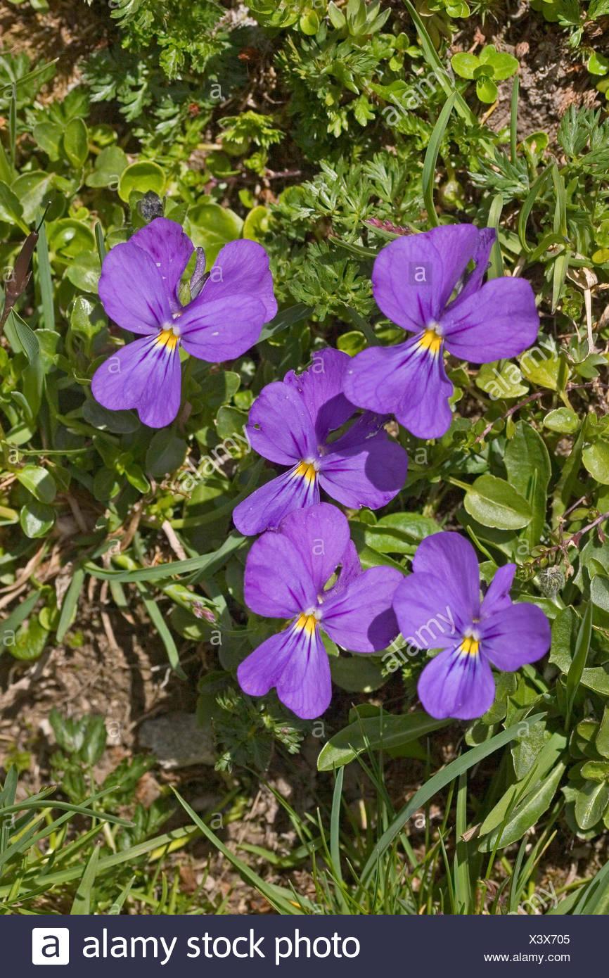 Swiss violet (Viola calcarata), blooming, Germany - Stock Image