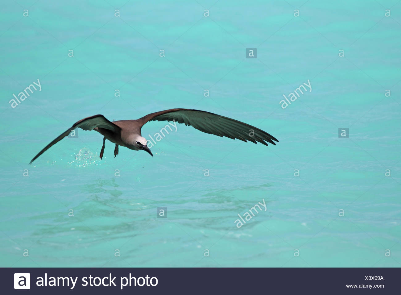 Common noddy, Brown Noddy (Anous stolidus), catching in flight fishes from the water surfaces, Seychelles, Bird Island Stock Photo