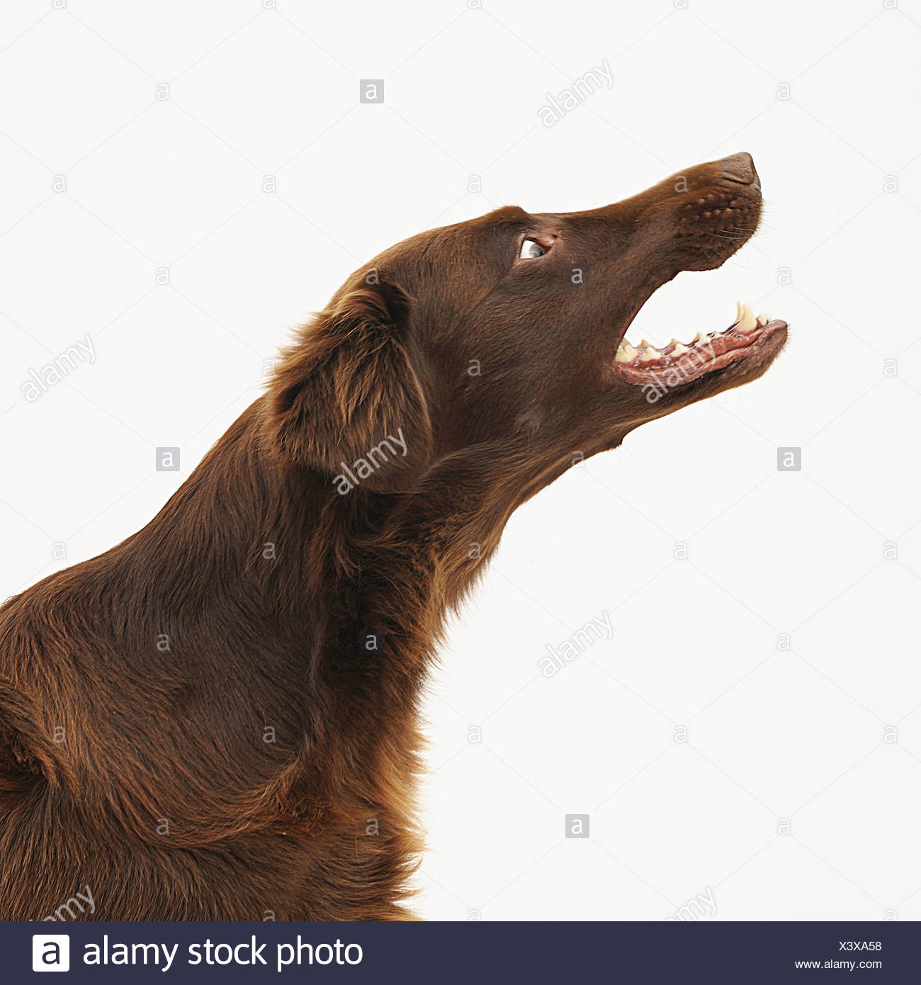 A brown dog barks - Stock Image