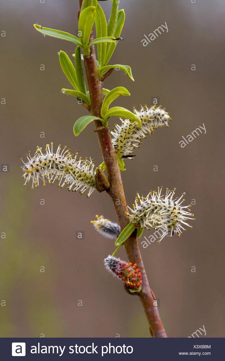 Purpur-Weide, Purpurweide (Salix purpurea), maennliche Bluetenkaetzchen, Deutschland | purple osier, purple willow, basket willo Stock Photo