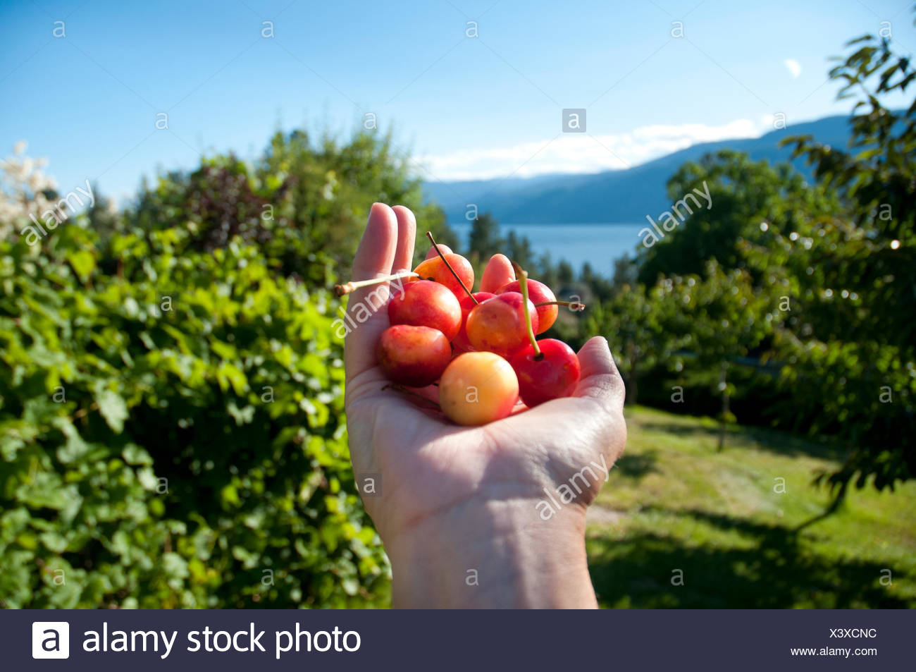 A handful of ripe Ranier Cherries are freshly picked in the Okanagan, BC - Stock Image