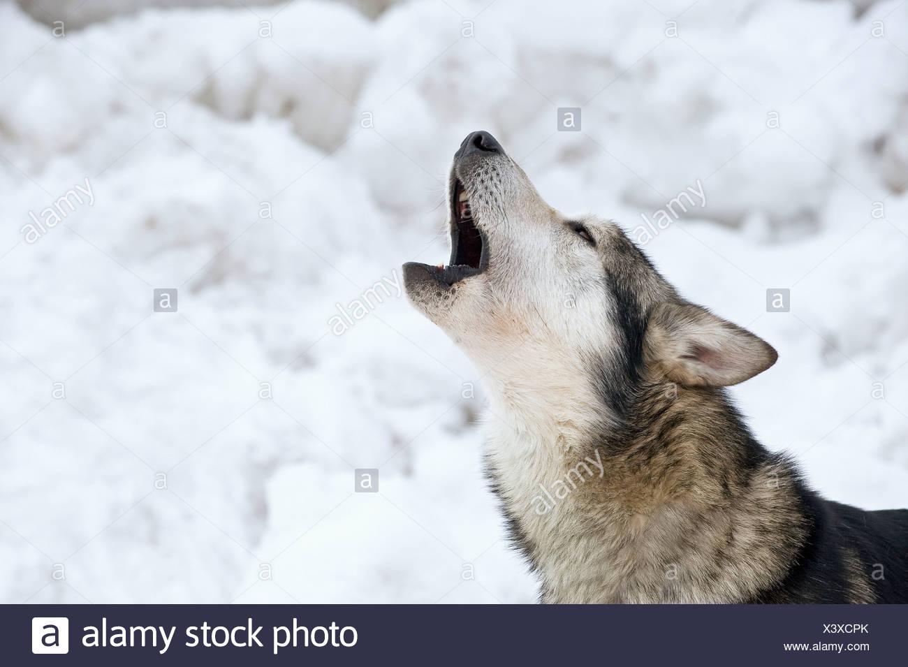 Siberian Husky Howling Stock Photos Siberian Husky Howling Stock