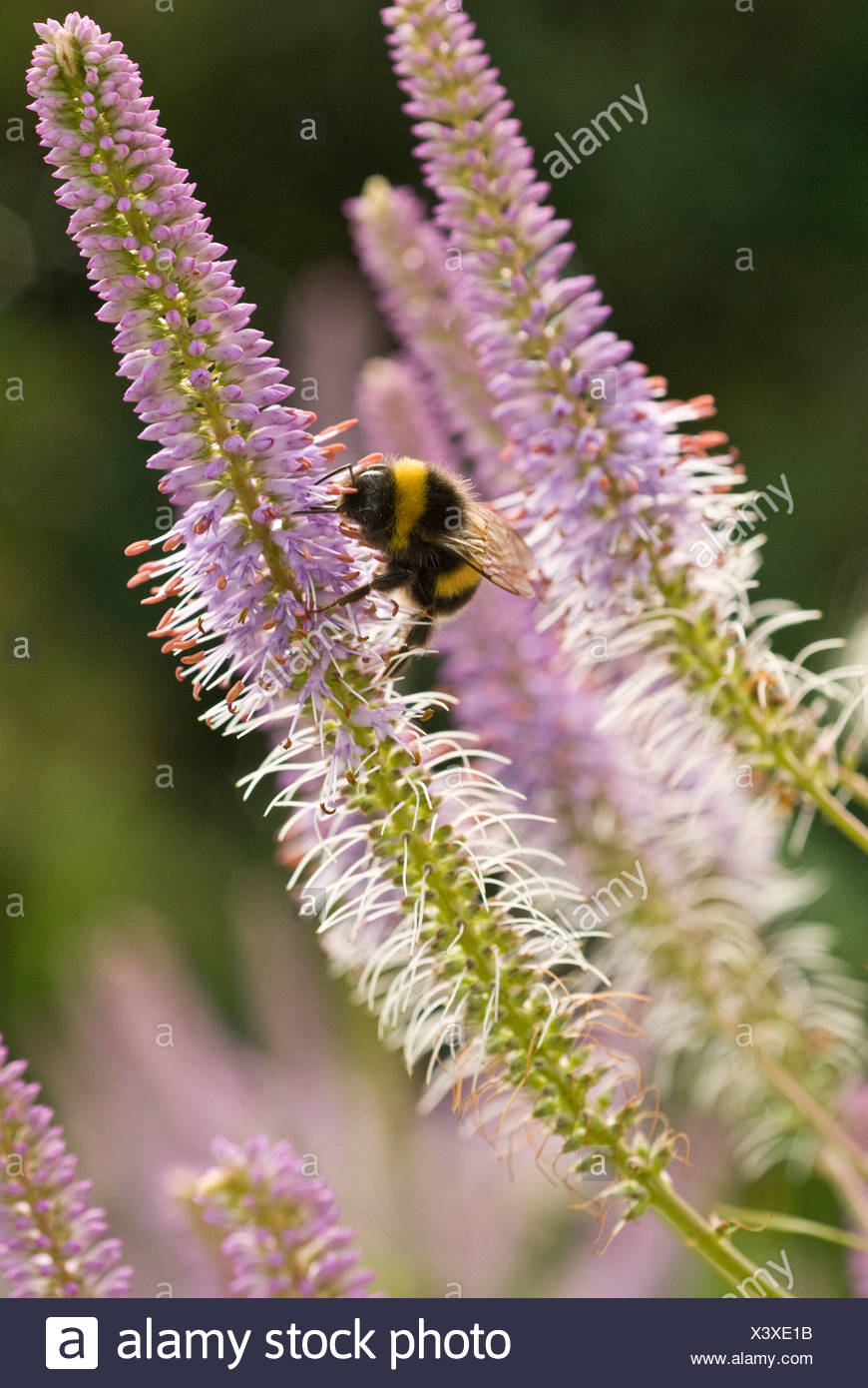 Veronicastrum vitginicum 'Fascination', Veronica - Stock Image