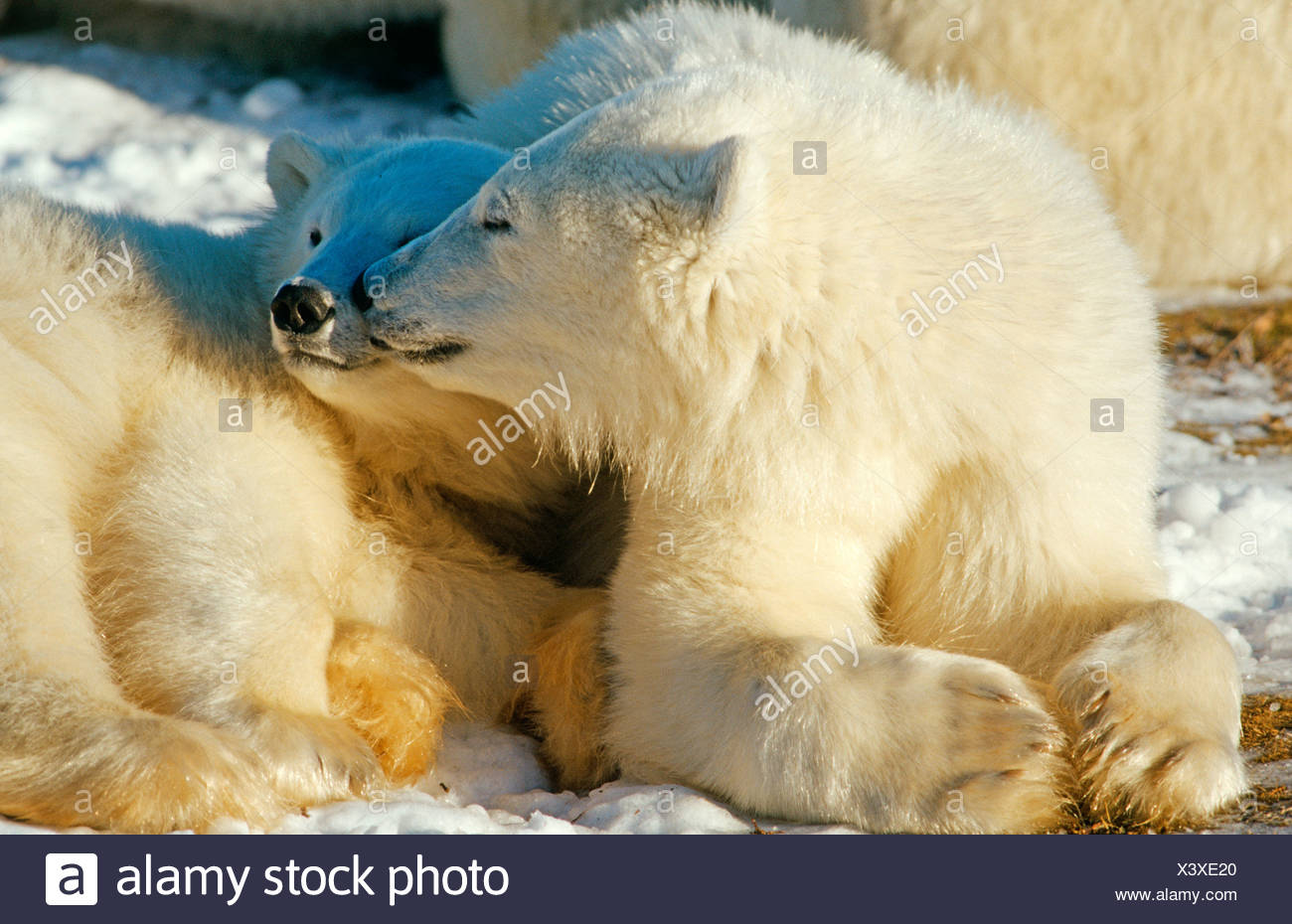 Polar bears (Ursus maritimus), family, Hudson Bay, Canada, North America Stock Photo