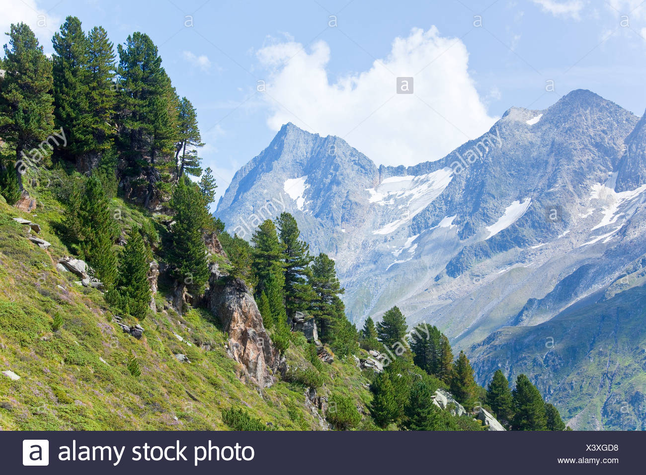 Swiss Pines (Pinus cembra) on a slope in Zillertal Alps, Tyrol, Austria, high angle view - Stock Image