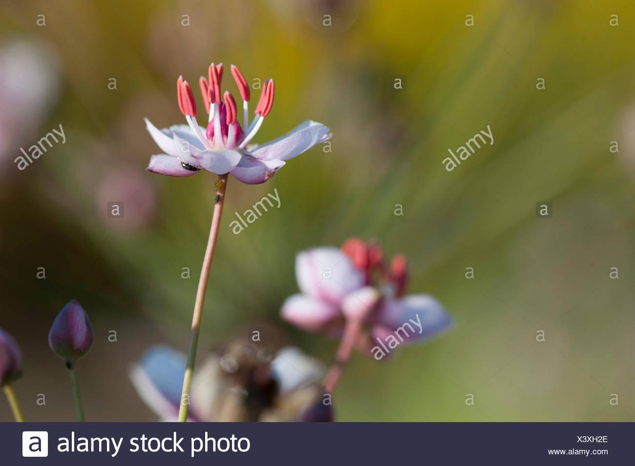 Schwanenblume, Schwanen-Blume, Wasserliesch, Blumenbinse, Doldige Schwanenblume, Wasserviole (Butomus umbellatus), Bluete, Deuts - Stock Image