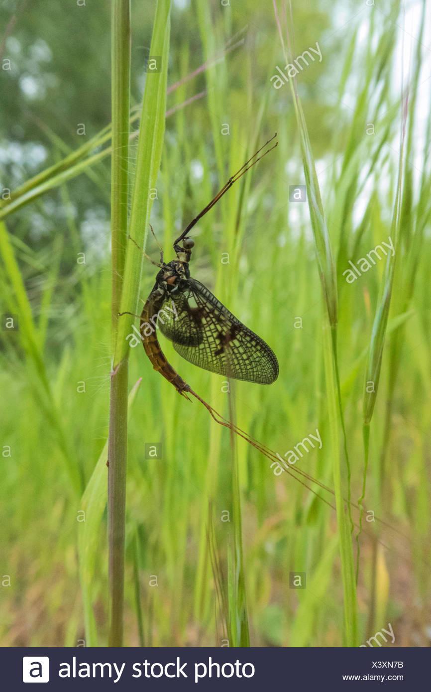 mayfly (Ephemera spec.), at a blade of grass, Austria, Burgenland - Stock Image