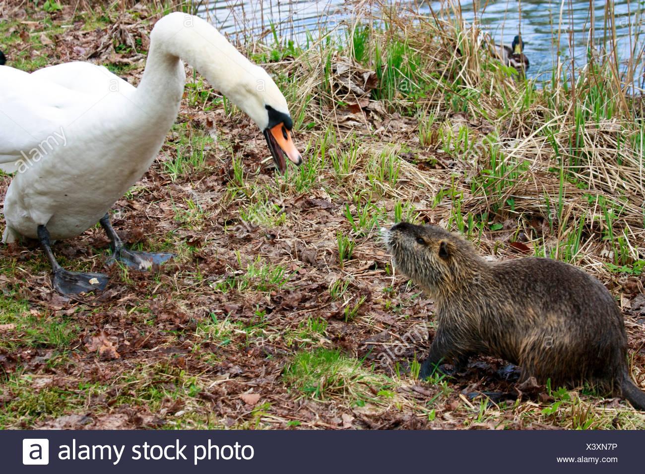 mute swan (Cygnus olor), snarling at a nutria at a water shore, Germany, Thuringia, Schlosspark Greiz, Greiz - Stock Image