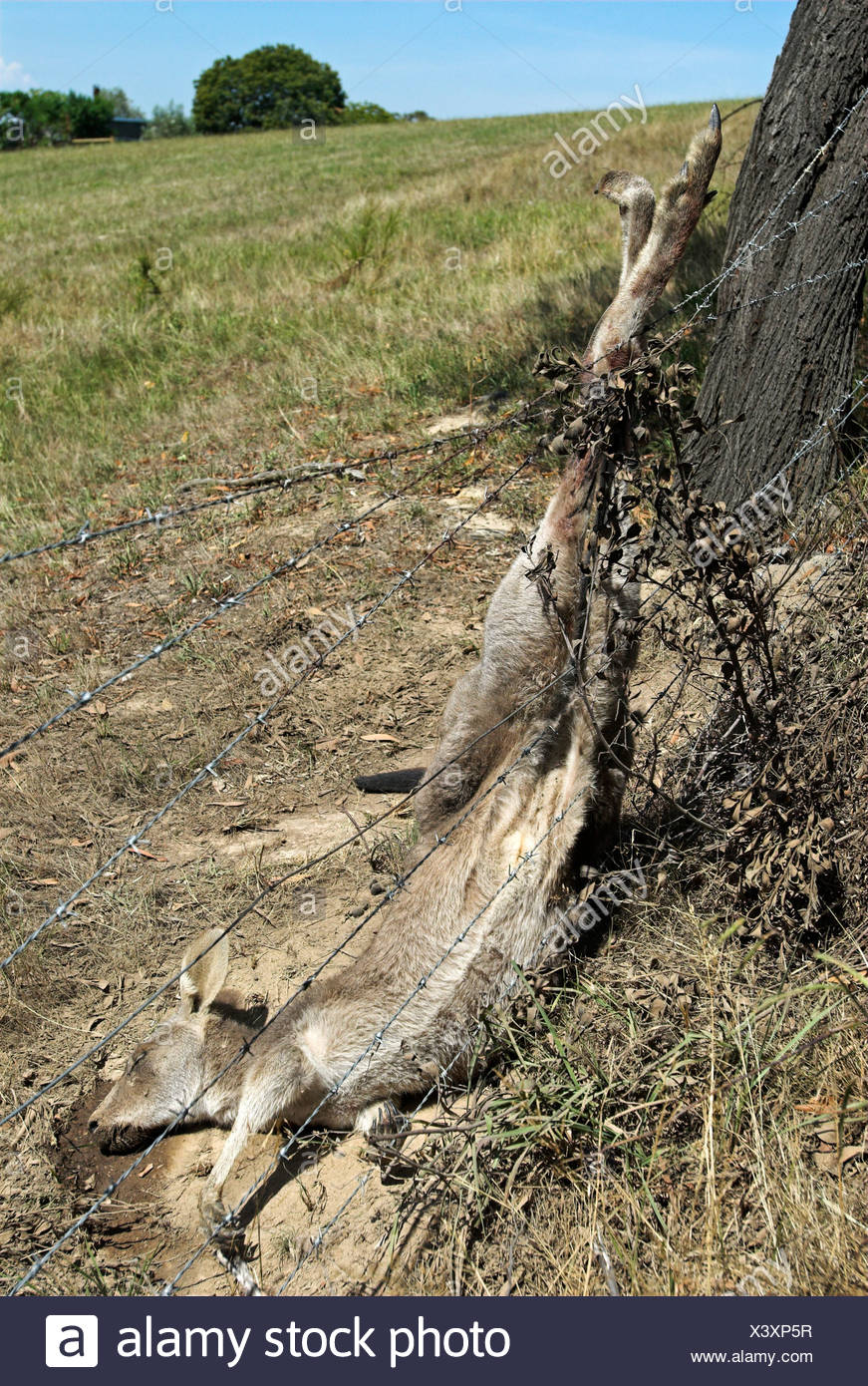Injured kangaroo in a barb wire fence, State of Victoria, Australia - Stock Image