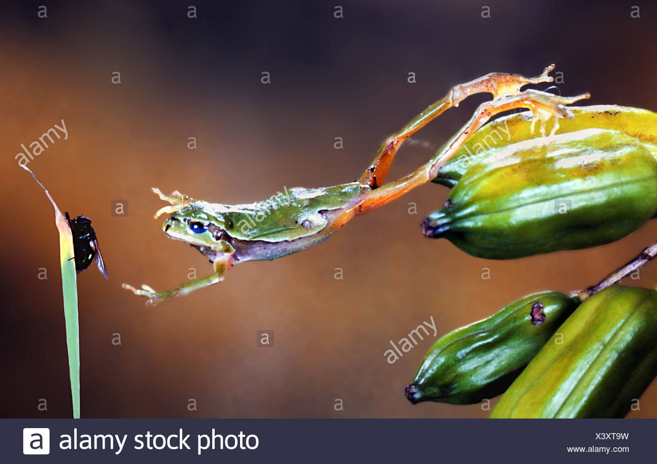 European tree frog (Hyla Arborea) jumping - Stock Image
