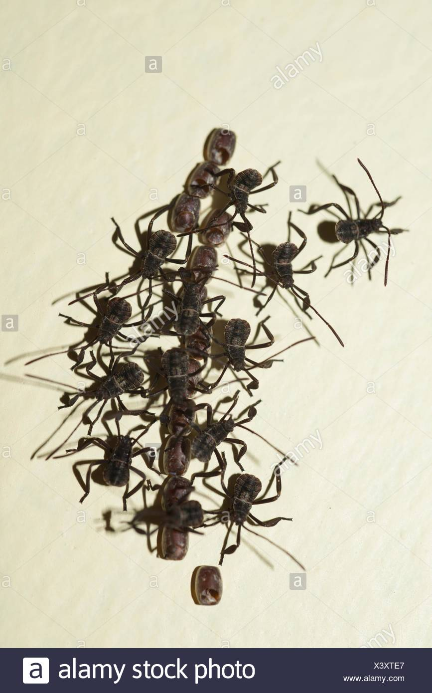 Hatchling Leaf-footed Bugs (Coreidae family) exiting from pods, Klungkung, Bali, Indonesia. - Stock Image
