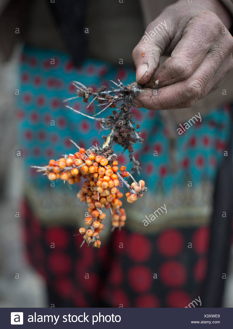 Picking sea buckthorn berries for their anti cancer properties. - Stock Image