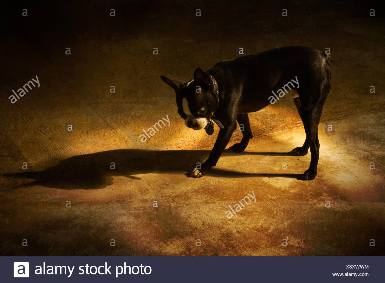 A small dog standing with its shadow no.2 - Stock Image