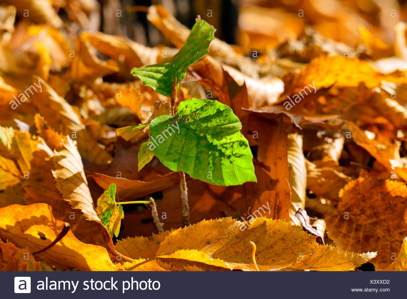 common beech (Fagus sylvatica), seedling, Germany - Stock Image