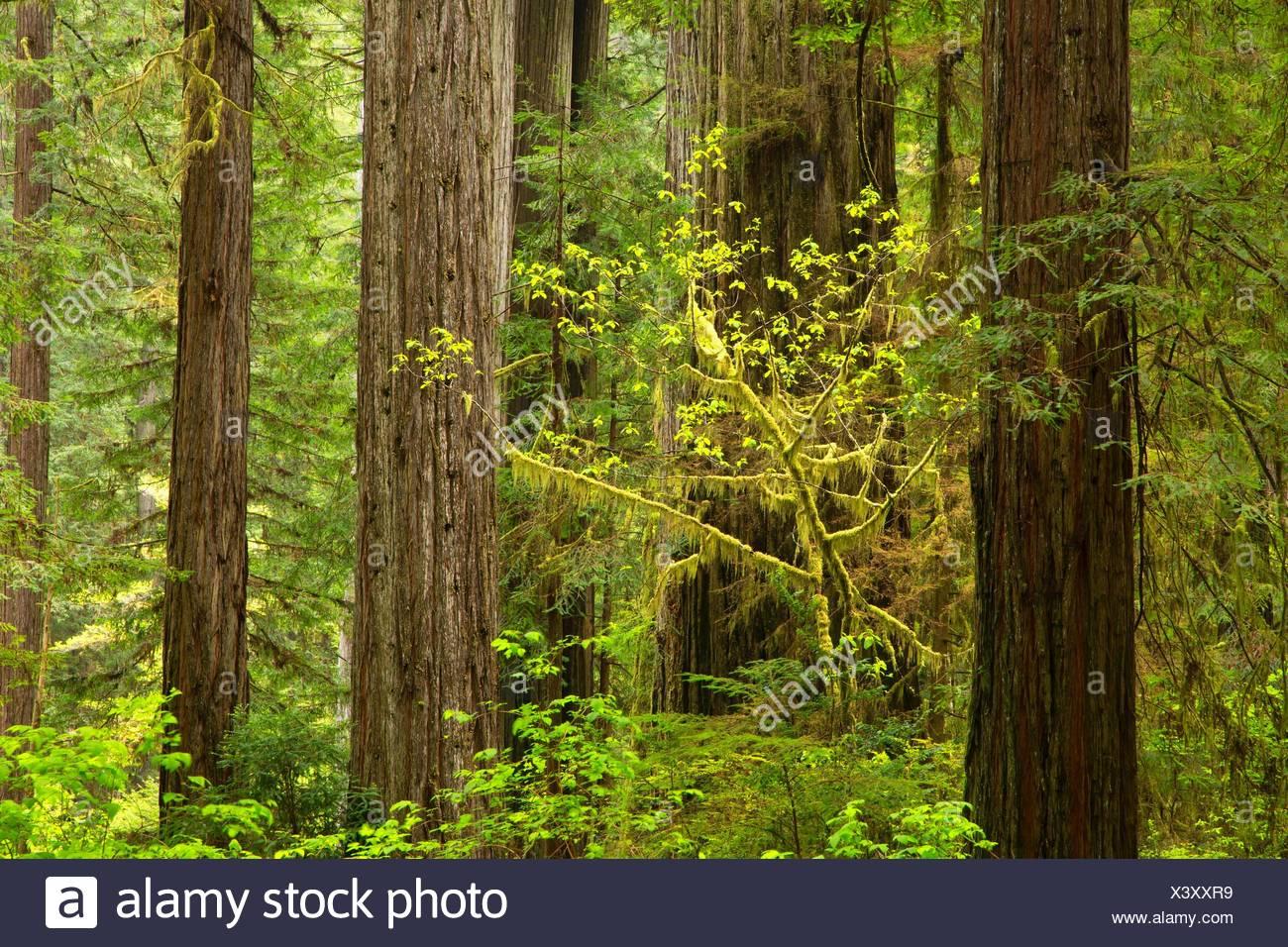 Coast redwood (Sequoia sempervirens) forest, Prairie Creek Redwoods State Park, Redwood National Park, California. - Stock Image