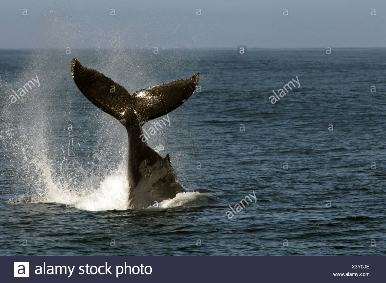 This humpback whale photographed in California (Monterey Bay) was slapping its tail on water They do this to get rid parasites - Stock Image