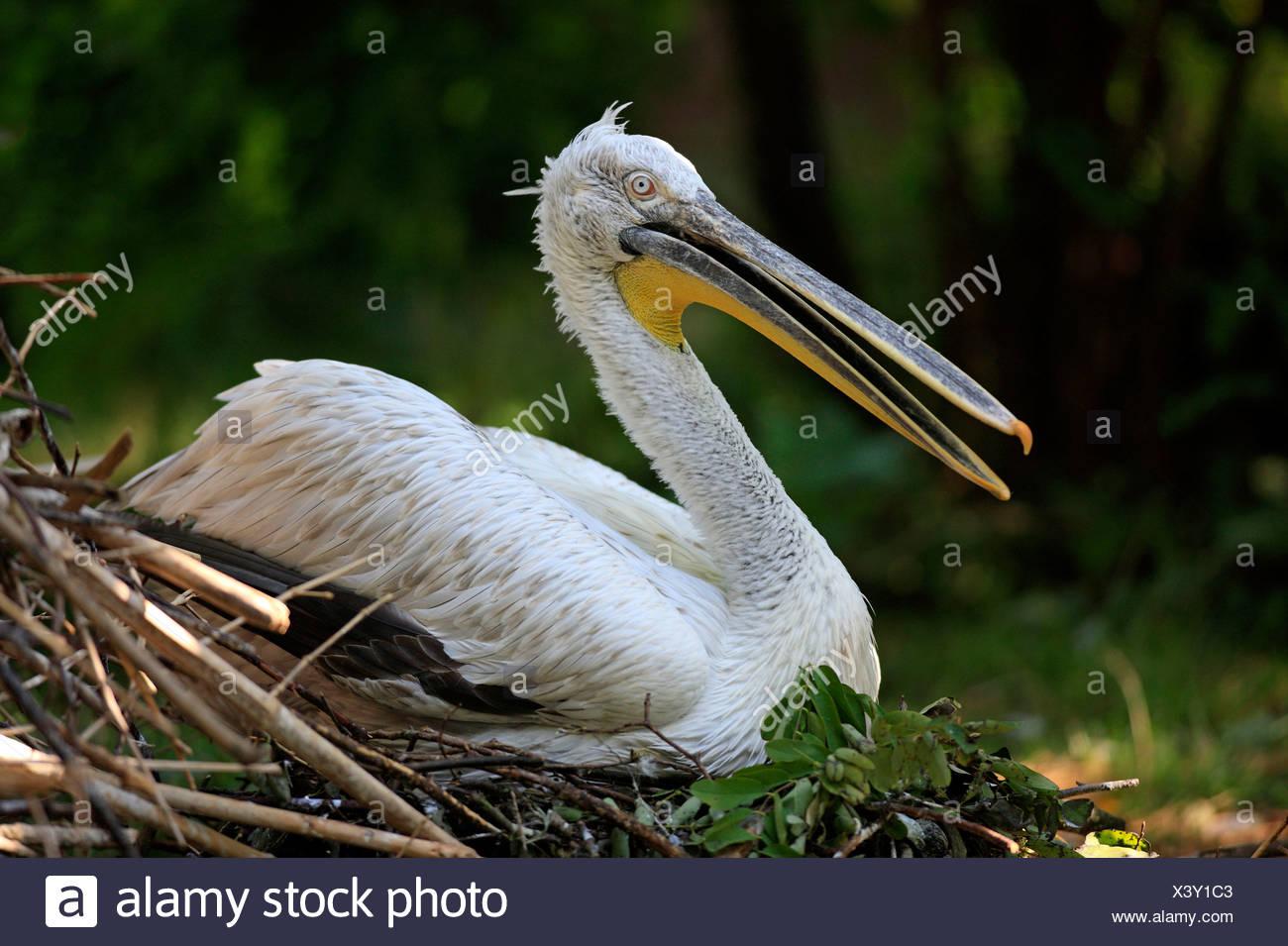 Dalmatian Pelican, on nest / (Pelecanus crispus) - Stock Image
