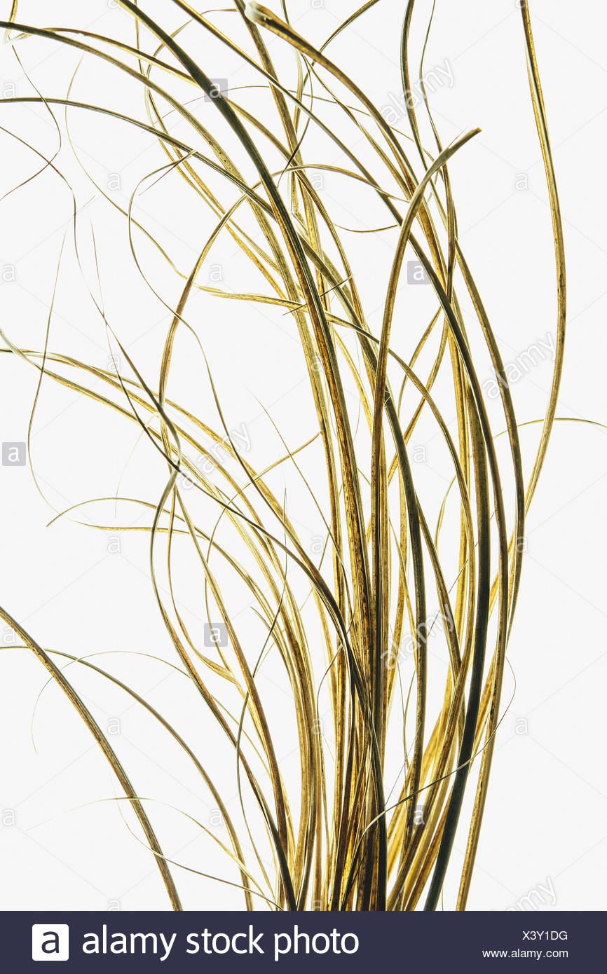 Detail of ornamental grasses on white background - Stock Image