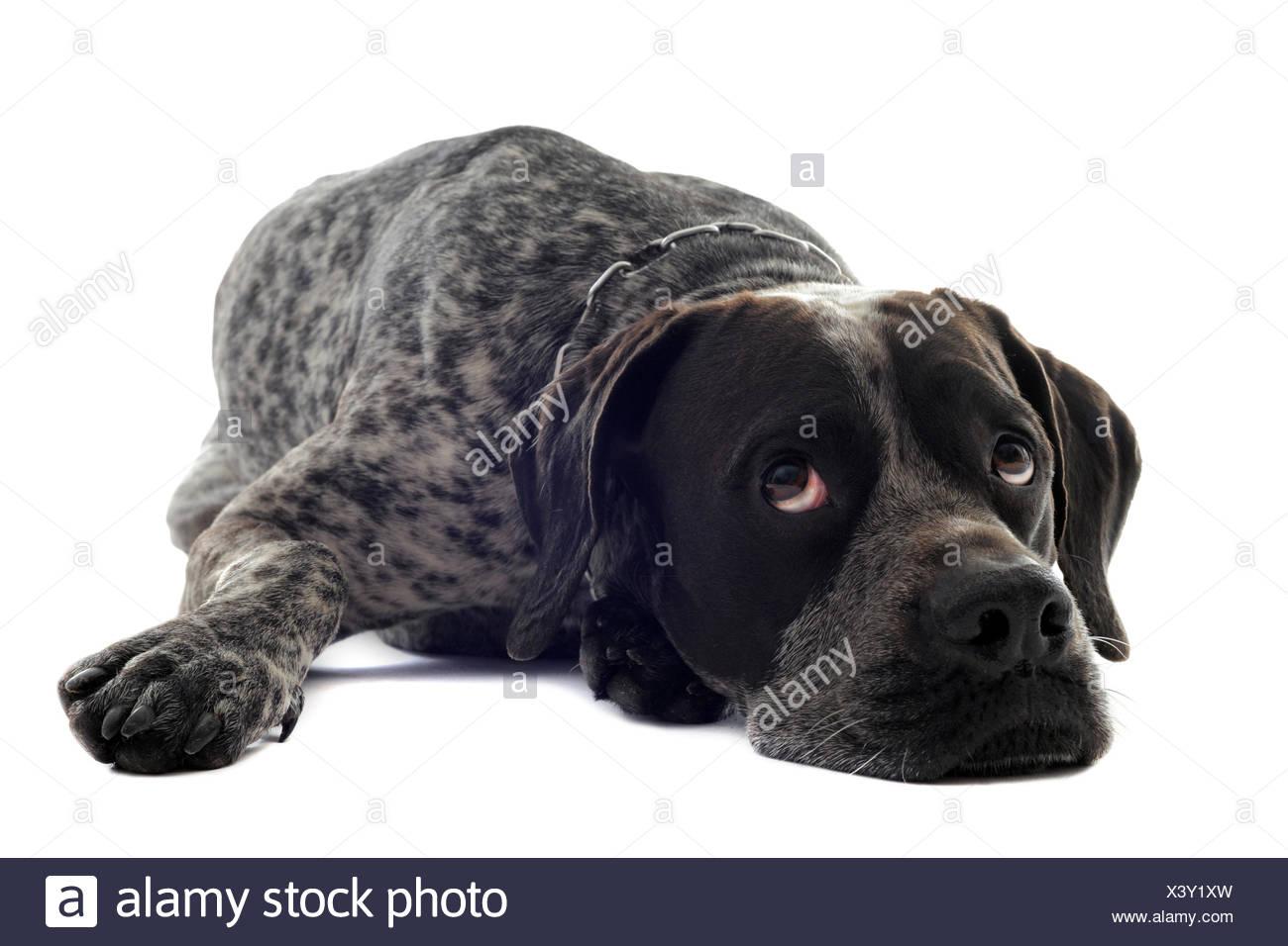 animal pointer dog beautiful beauteously nice pet portrait sad eyes studio sadness tired canine young younger grey gray beauty - Stock Image