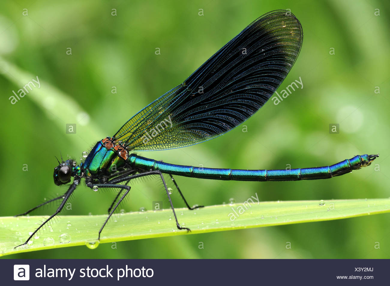 male masculine dragonfly - Stock Image