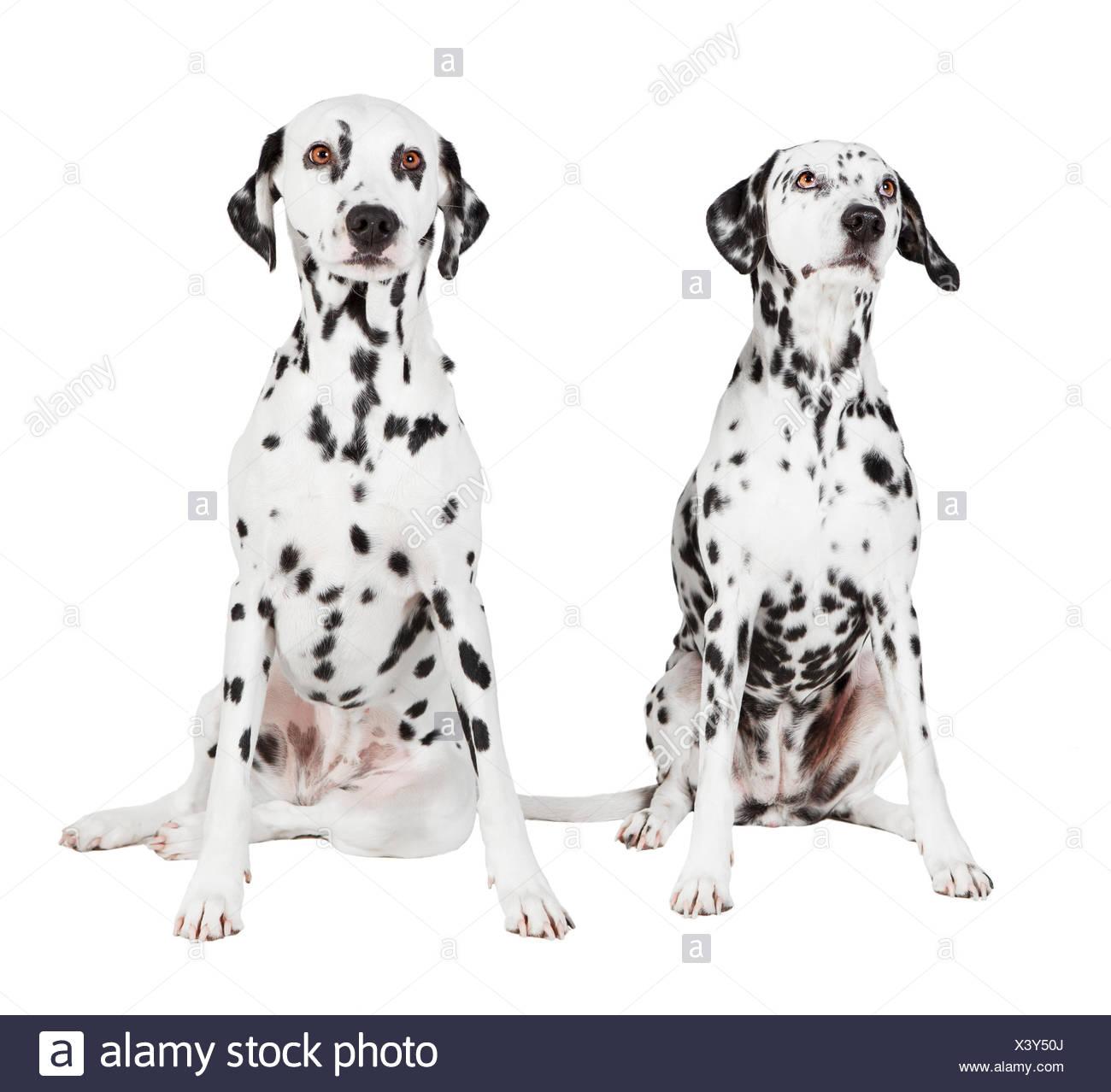 zwei sitzende Dalmatiner vor weißem Hintergrund, freigestellt - Stock Image