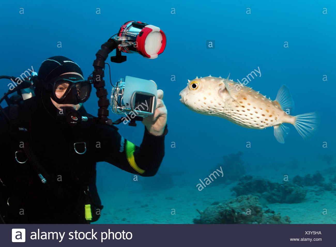 Diver with underwater camera taking photo of Yellow-spotted Burrfish (Chilomycterus spilostylus), Makadi Bay, Hurghada, Egypt - Stock Image