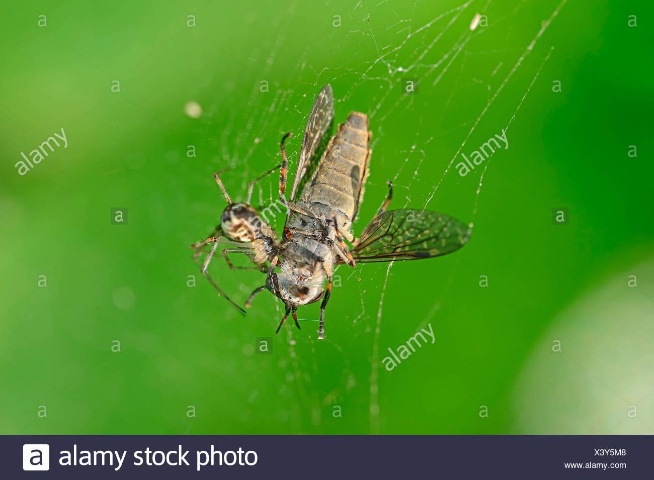 Sheet Web Spider - Stock Image