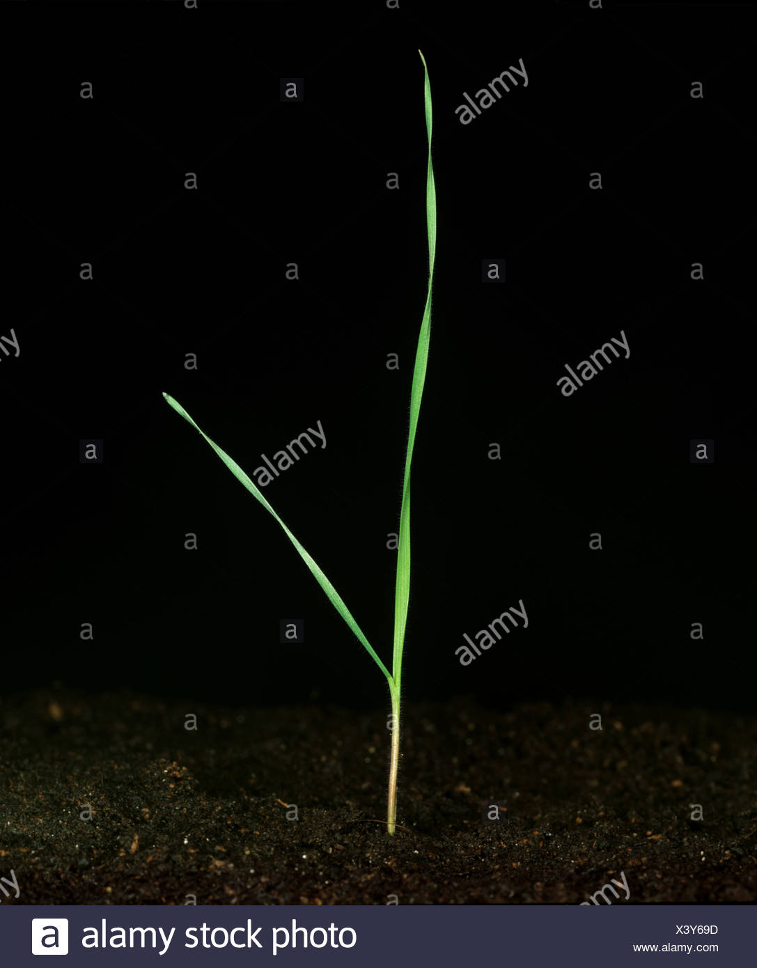 Soft brome Bromus mollis young plant seedling with two leaves - Stock Image