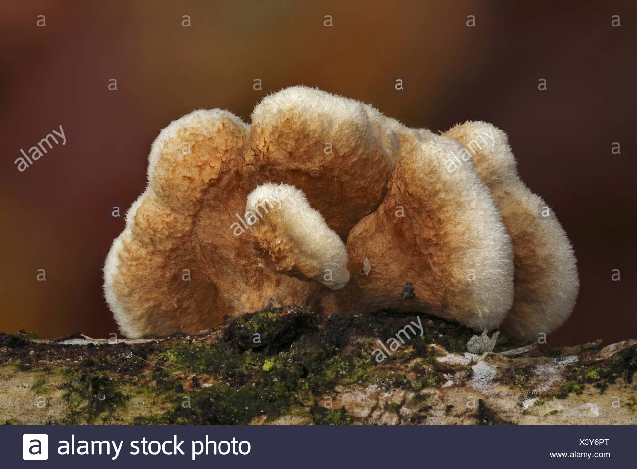 Crowded Parchment (Stereum rameale), Bad Hersfeld, Hesse - Stock Image
