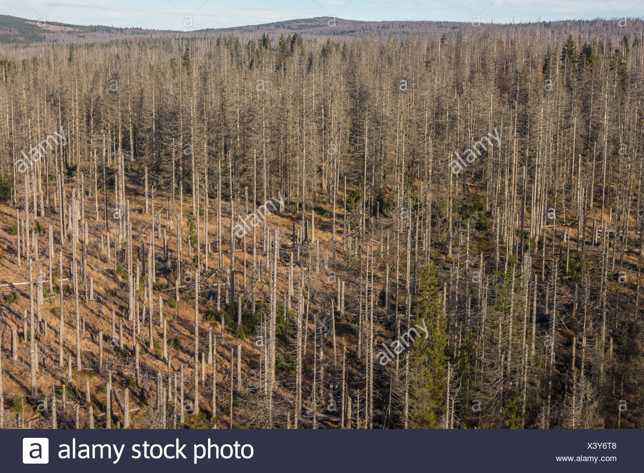 bark beetles, engraver beetles & ambrosia beetles, timber beetles (Scolytidae (Ipidae)), aerial view to spruce forest damaged by bark beetles, Czech Republic, Boehmerwald, Sumava Nationalpark - Stock Image