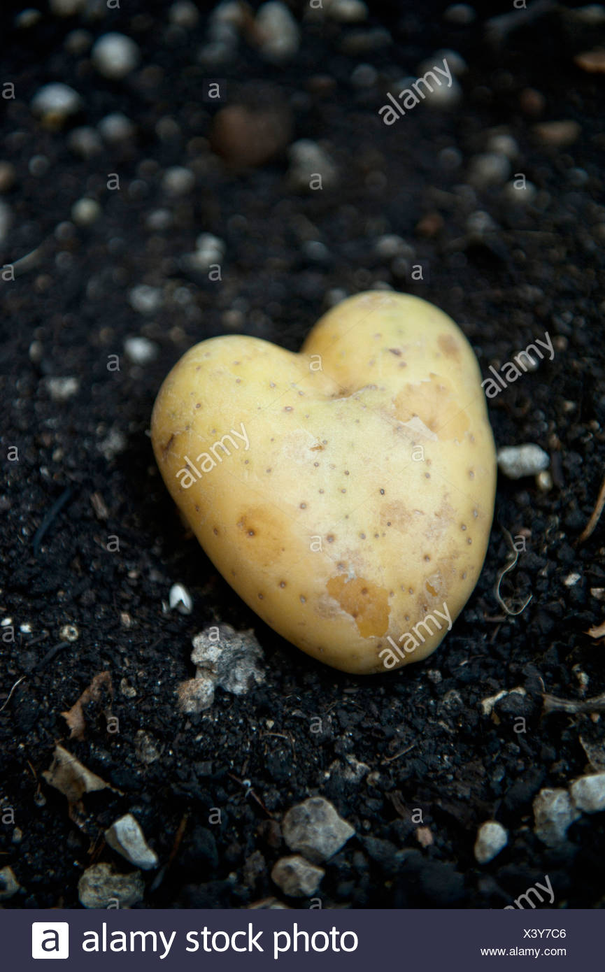 Potato shaped like heart - Stock Image