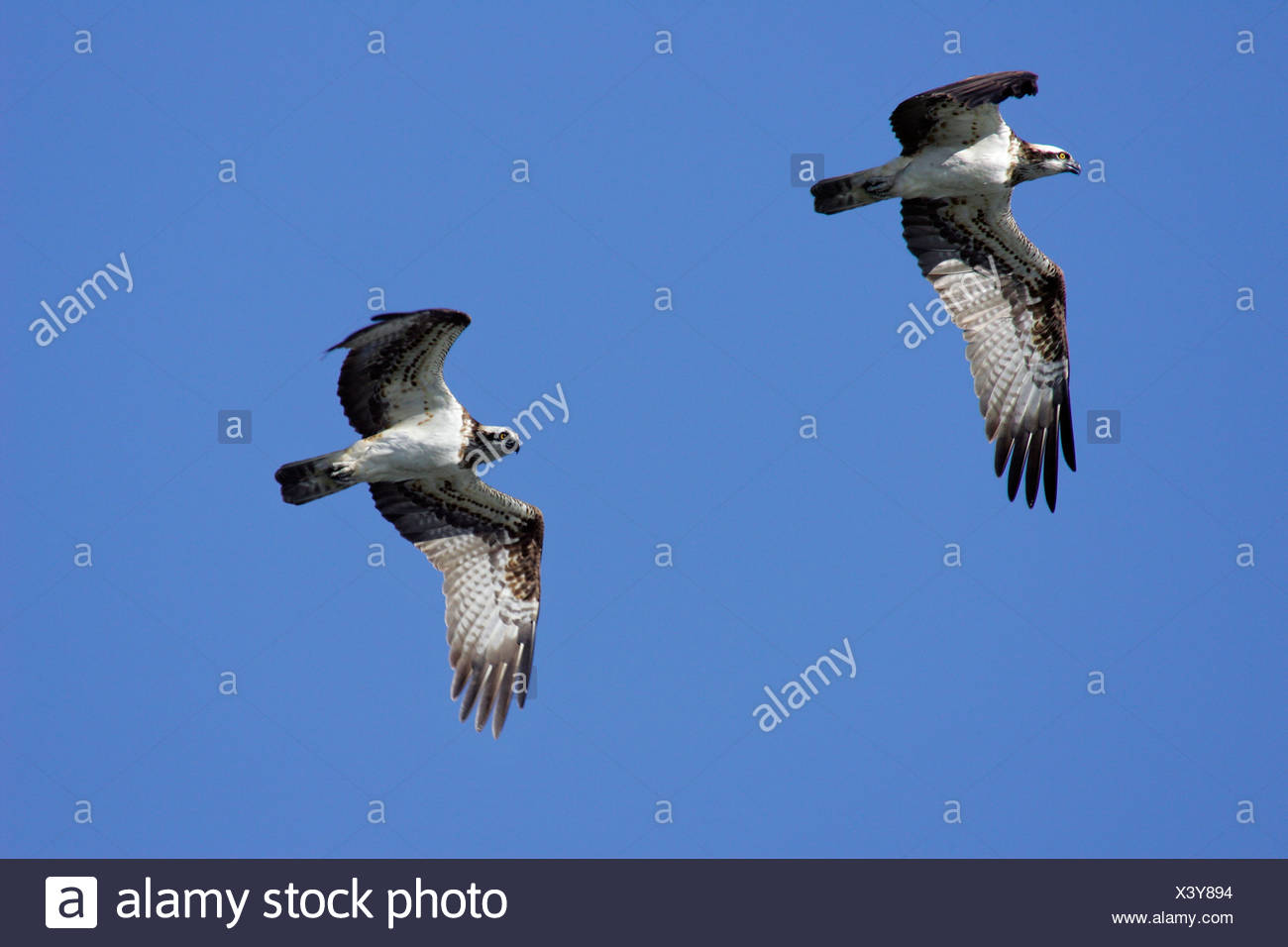 Pair of flying fish hawks - fish hawk - osprey (Pandion haliaetus) Stock Photo