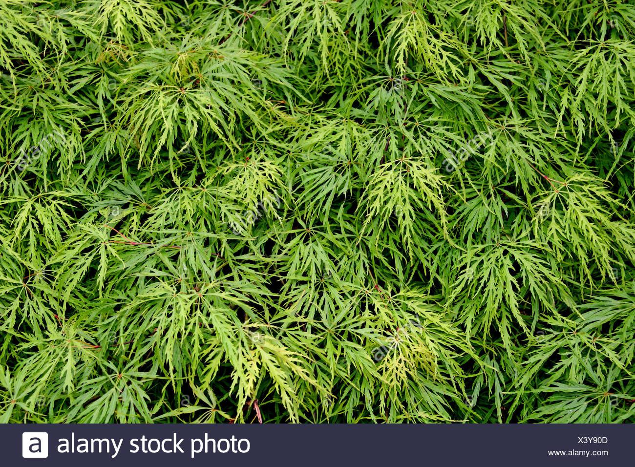 Japanese Maple Acer Palmatum Dissectum Acer Palmatum Dissectum