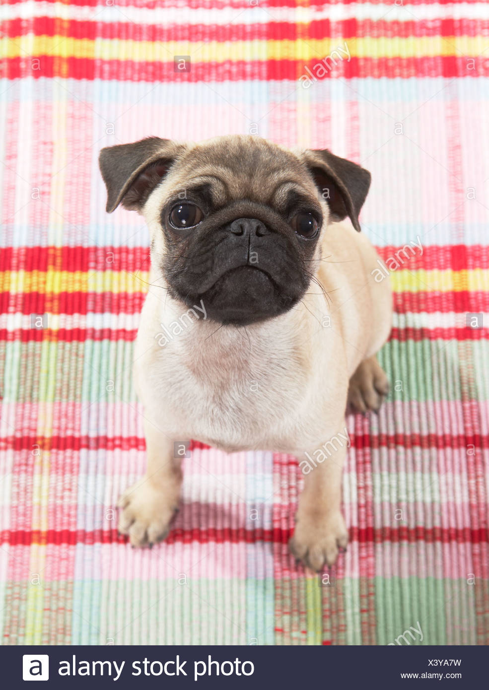 pug dog - puppy - sitting Stock Photo