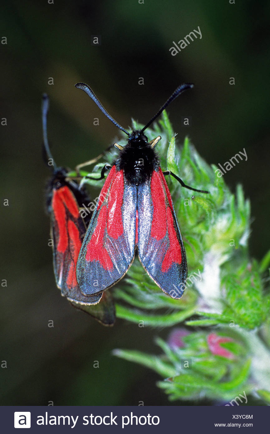 butterfly butterflies tempting dapper accosting pretty prettily prettier - Stock Image