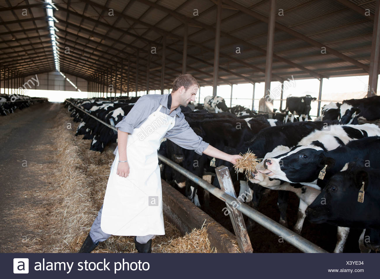 Worker feeding cows at dairy farm - Stock Image