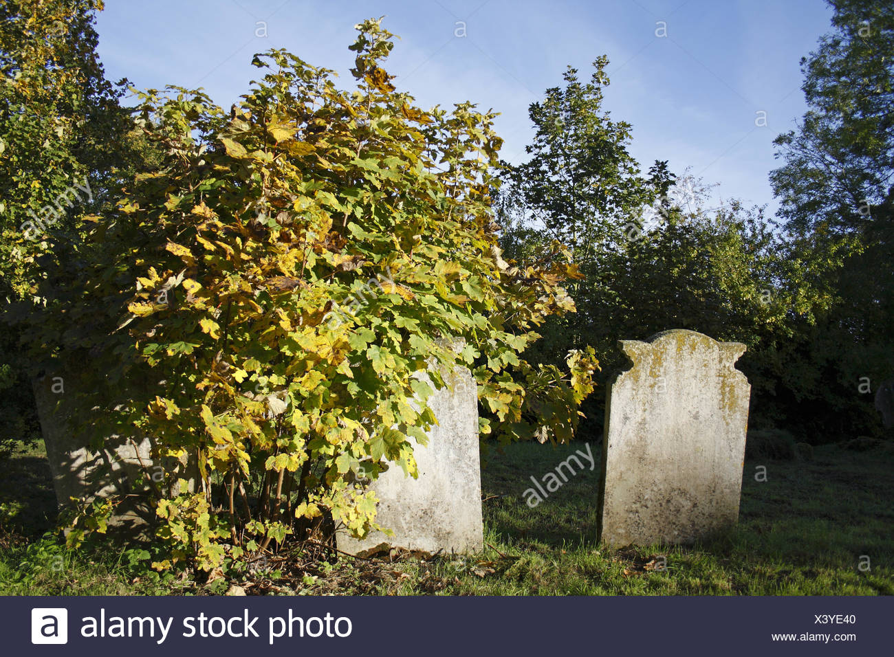 Sycamore (Acer pseudoplatanus) sapling, growing beside headstones in church graveyard, St. Andrew's Church, Wickham Skeith, Suff - Stock Image