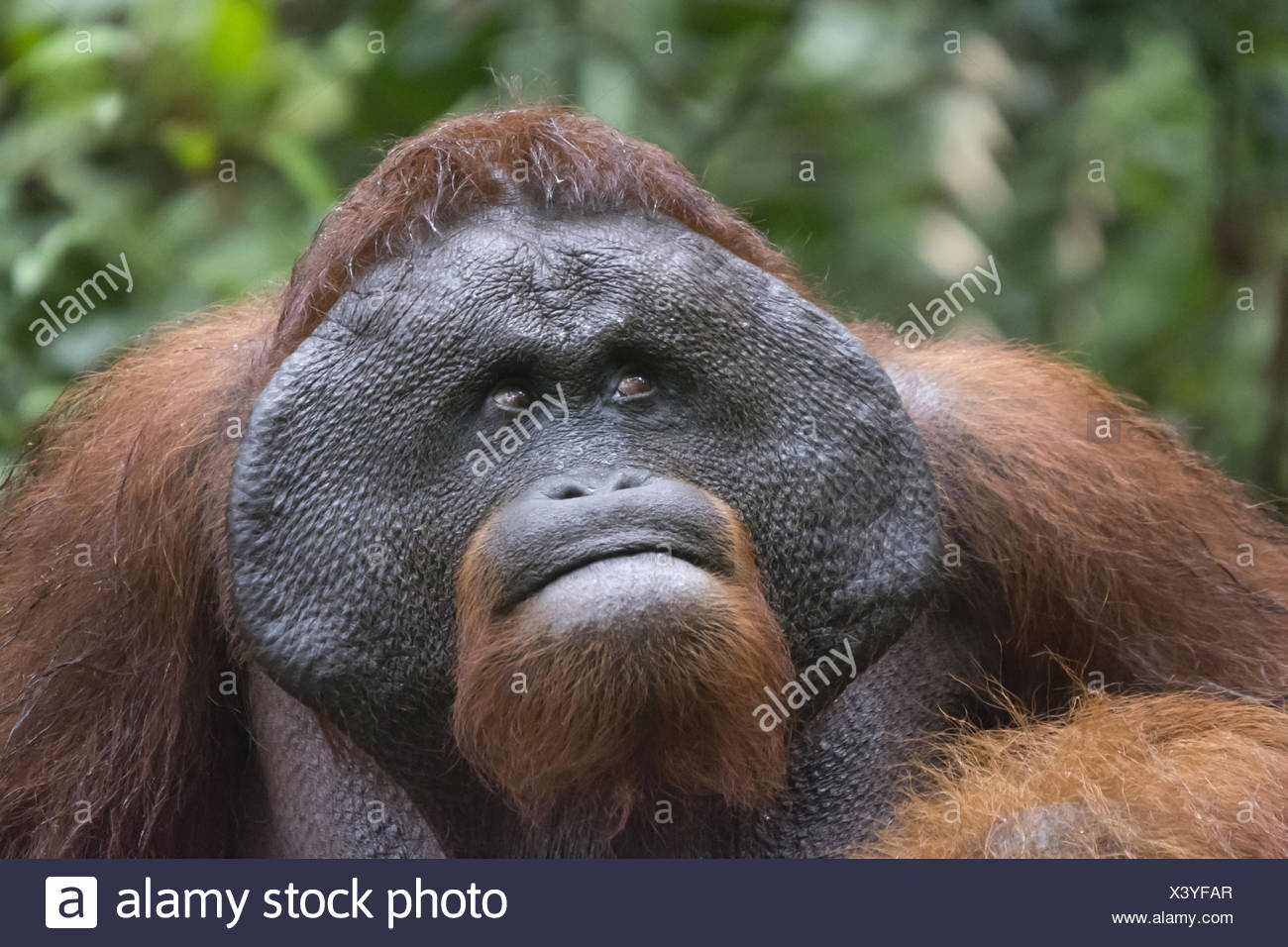 Male Orangutan, Indonesia. Native to Indonesia and Malaysia, orangutans are currently found in only the rainforests of Borneo an Stock Photo