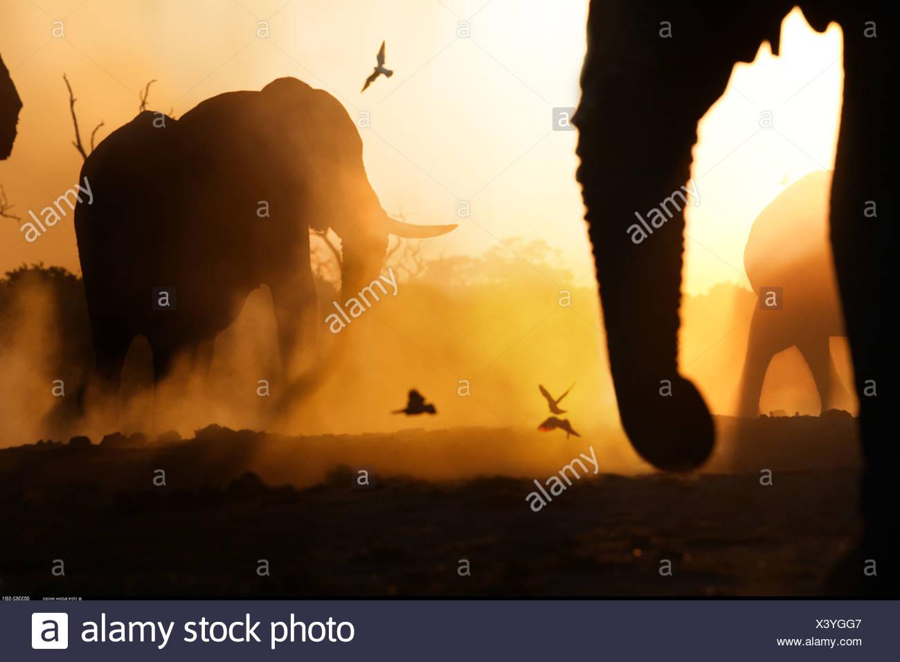 African elephants at sunset Savuti Botswana Stock Photo