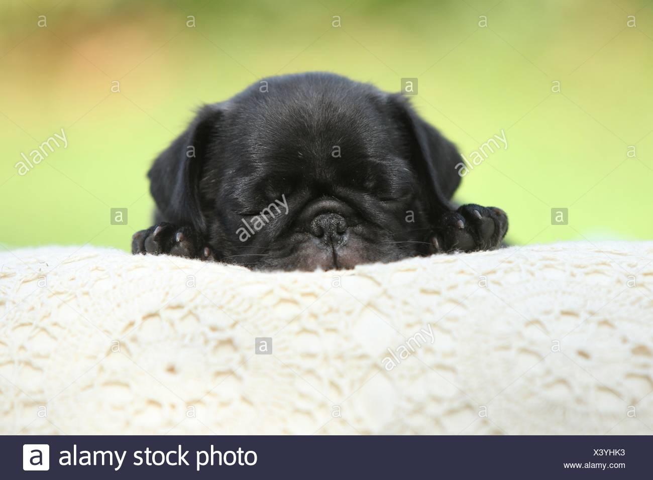pug puppy - Stock Image