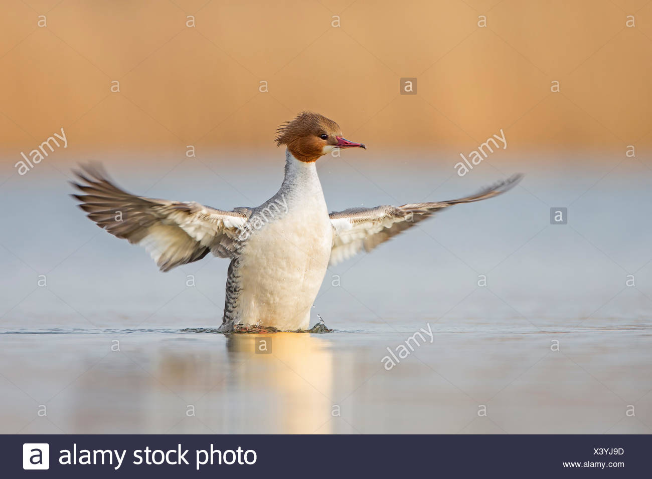 Goosander (Mergus merganser) female, wings extended, flapping, Middle Elbe River, Saxony-Anhalt, Germany - Stock Image