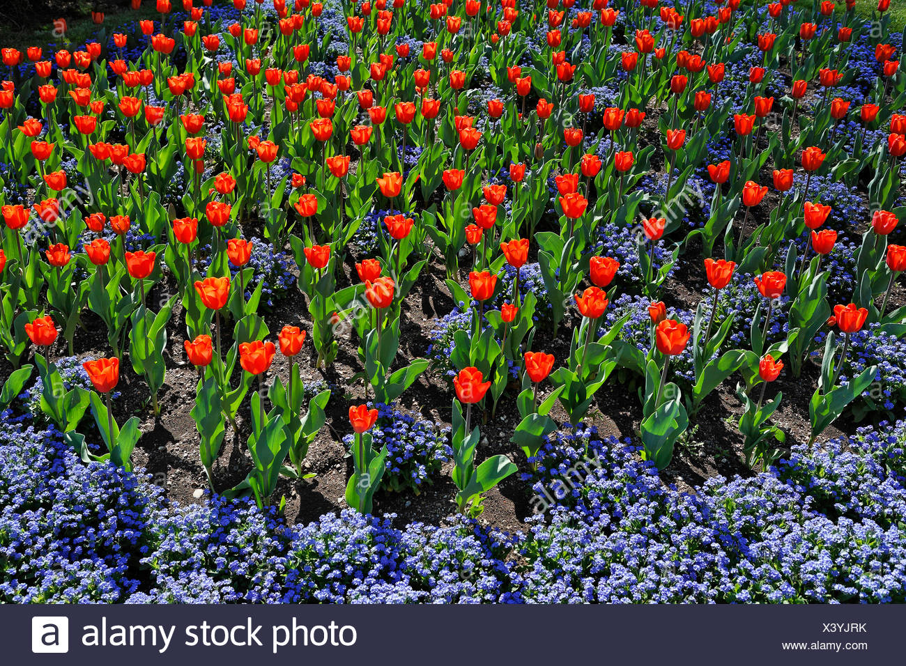 Tulip flowerbed, Austria, Europe Stock Photo