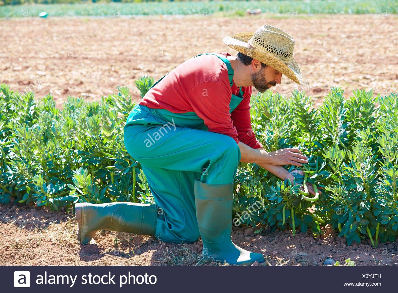 Farmer Man Harvesting Lima Beans In Mediterranean Orchard Field