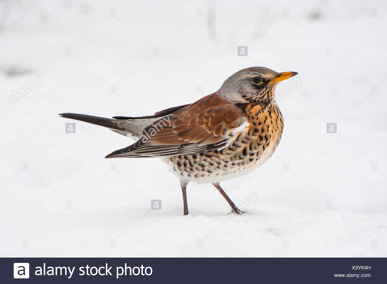fieldfare (Turdus pilaris), on the feed in snow, Switzerland, Sankt Gallen Stock Photo
