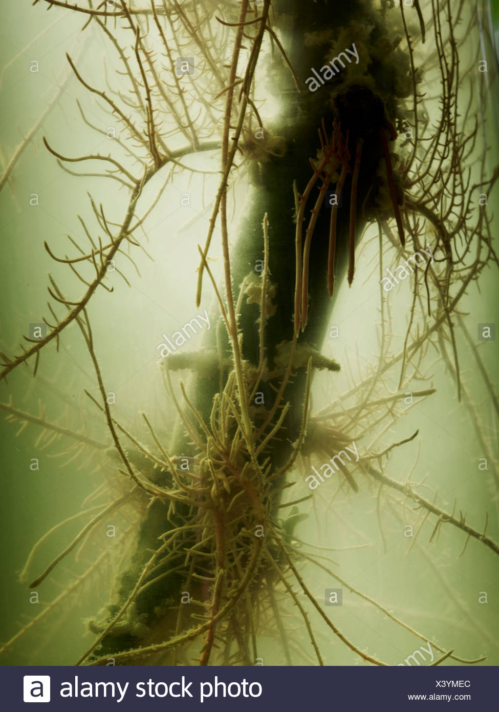 Roots in nutrient solution and yellowish liquid - Stock Image
