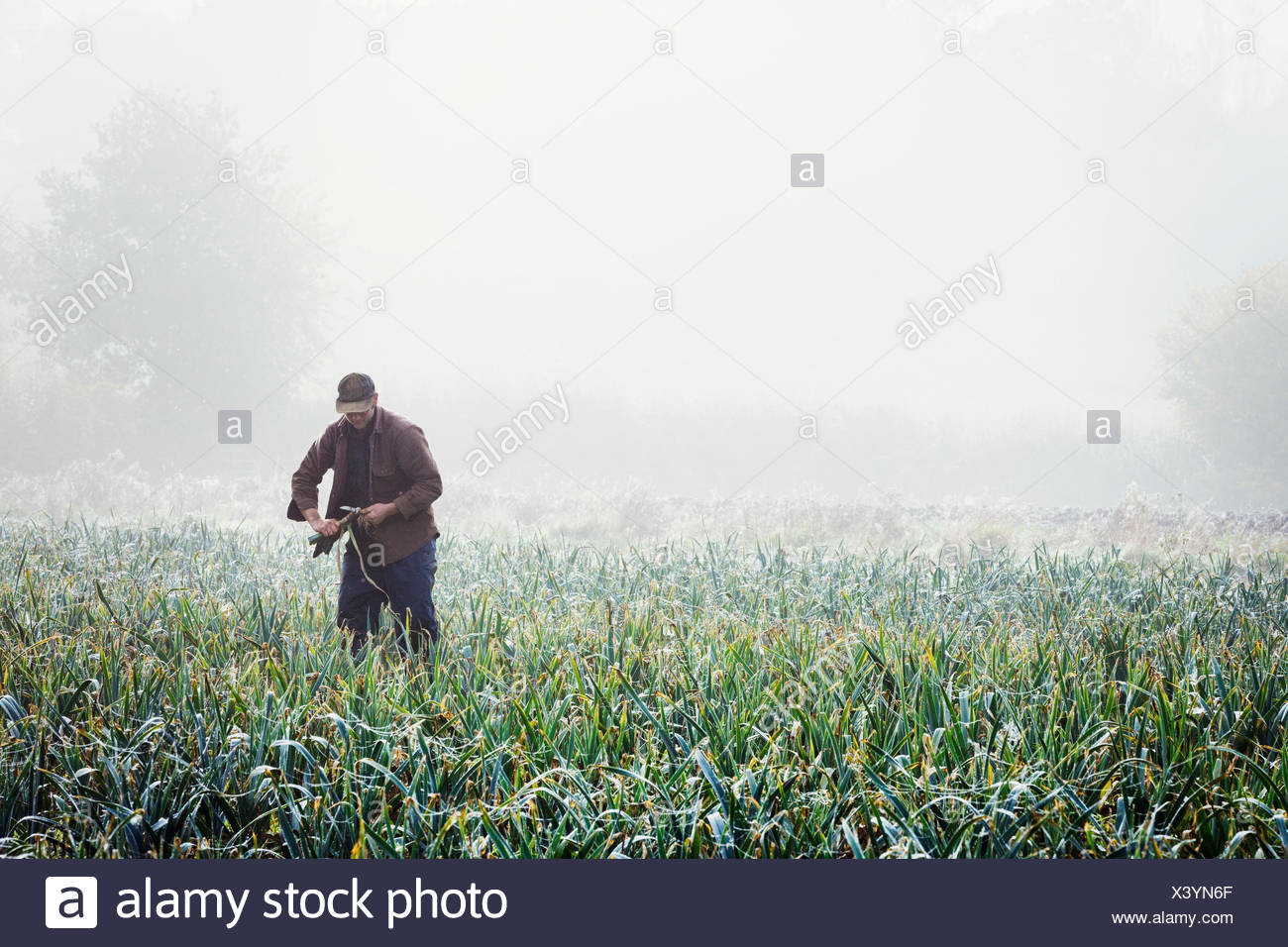 A man lifting and trimming organic leeks in a field, mist rising from the ground. - Stock Image