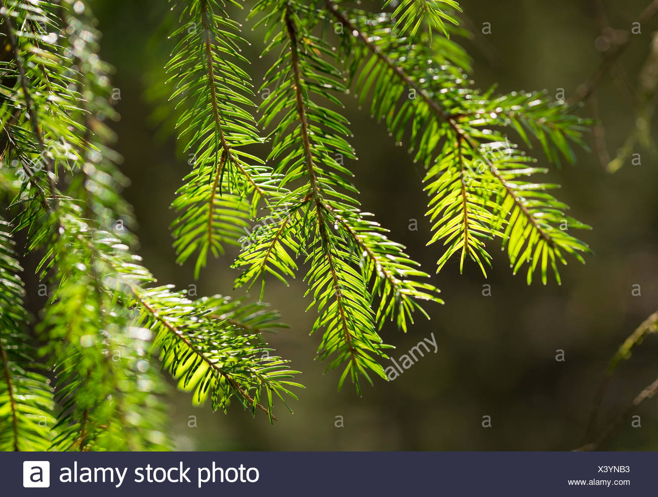 Spruce tree branches (Picea abies), Bavaria, Germany - Stock Image